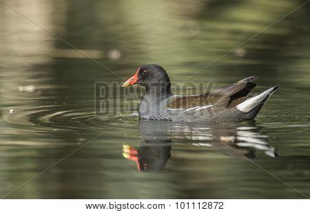 Moorhen, Gallinula chloropus, on a pond, with a reflection