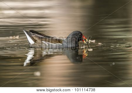 Moorhen, Gallinula chloropus, feeding on a pond