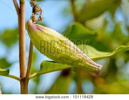Fruit Of Asclepias Syriaca