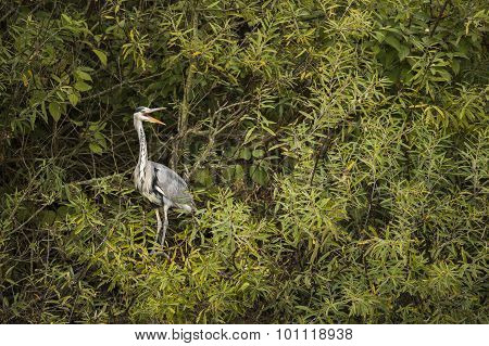 Grey Heron perched in a tree squawking