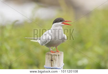 Arctic tern Sterna paradisaea standing on a post squawking