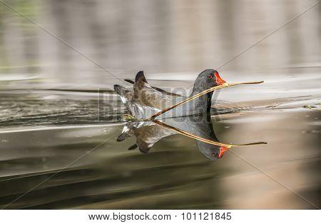 Moorhen Gallinula chloropus on a pond carrying a twig