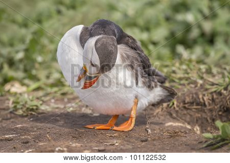 Puffin, Fratercula,  preening itself standing on some earth