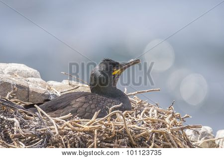 European Shag Phalacrocorax aristotelis sitting on its nest asleep