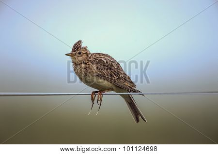 Skylark Alauda arvensis perched on a wire