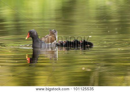 Moorhen Gallinula chloropus on a pond with chicks