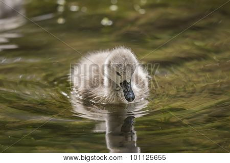 Cygnet floating on the river reflected in the water close up