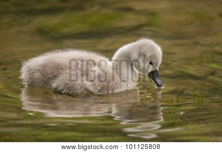 Cygnet dipping its beak in the river close up