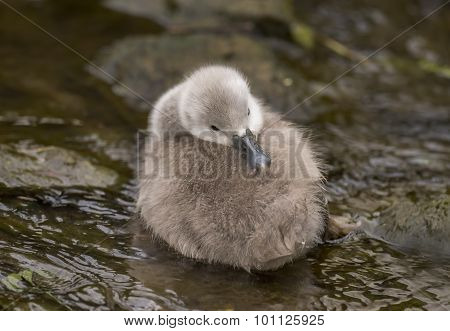 Cygnet resting in the river close up