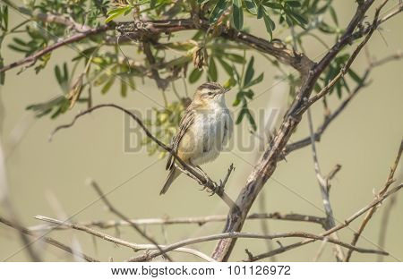 Sedge warbler perched in a tree in Summer time
