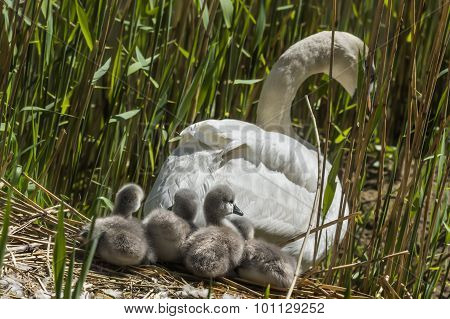 Mute swan Cygnus olor leaving nest with Cygnets