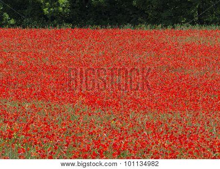 La Breole (Alpes-de-Haute-Provence Provence-Alpes-Cote-d'Azur France): landscape at june with poppies poster