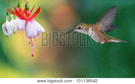 Hummingbird (archilochus Colubris) In Flight Over Bright Background