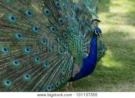 Male peacock, Pavo cristatus