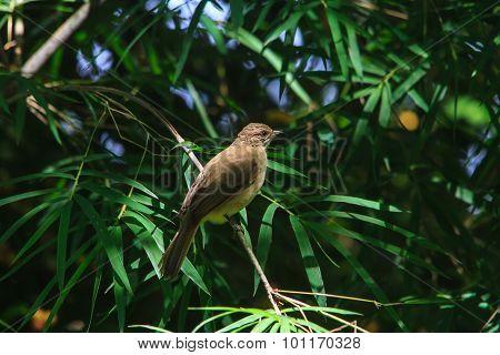 Streak-eared Bulbul perching on a branch in nature (Pycnonotus blanfordi) poster