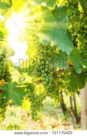 Green Blauer Portugeiser Grape Clusters In Sunlight