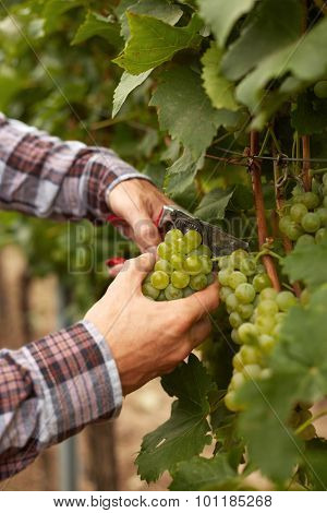 Male Hands With Garden Secateurs And Wine Grapes At Harvest