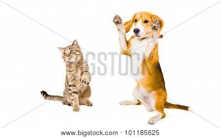 Frisky Beagle dog and cat Scottish Straight