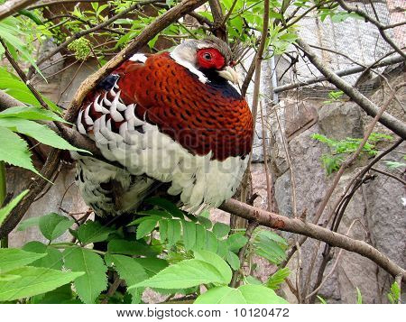Very beautiful colorful royal pheasant at the zoo poster