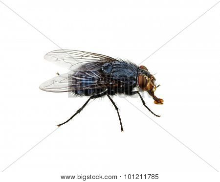 fly isolated on a white