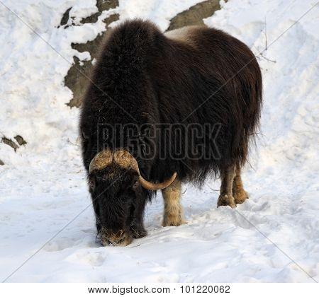 Yak in winter