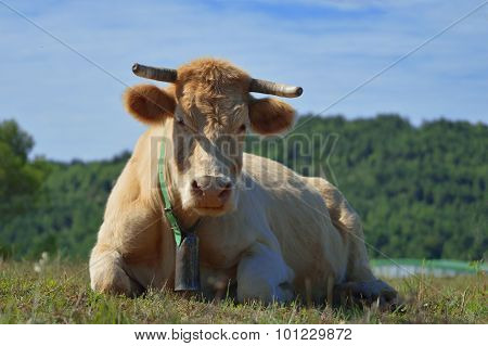 Portrait of a cow with a cowbell resting in a meadow