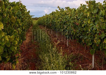 Vineyard Of Isabella Grapes In Istria, Croatia
