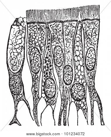 Ciliated epithelium cells from the trachea(windpipe), vintage engraved illustration.