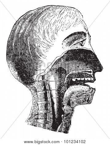 Vertical section of the mouth and pharynx, vintage engraved illustration.