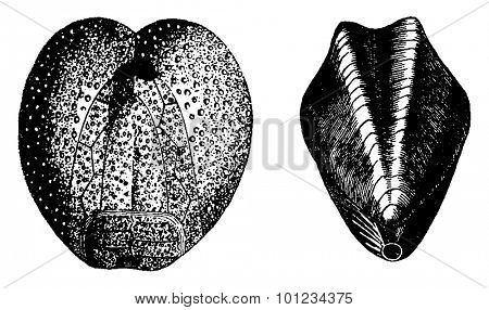 Fossil of Cretaceous, vintage engraved illustration. Earth before man 1886.
