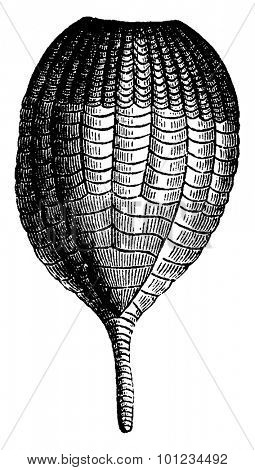 Crinoids, Ichthyocrnus laevis in the closed arms,, vintage engraved illustration. Earth before man - 1886.