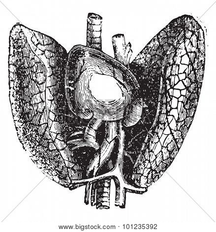 Heart and lungs, vintage engraved illustration.