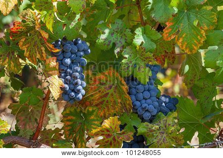 Bunch of ripe grapes among green leaves in vineyards of Piedmont, Northern Italy.
