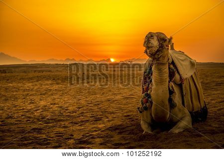 Camel in front of sunset in Hurghada/Makadi Bay, Egypt, focus at the camel
