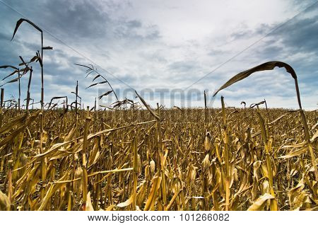 Harvested corn field before the storm at late autumn