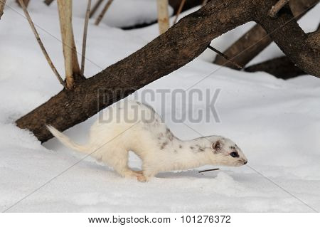 Moulting Least Weasel Jump Near His Snow Burrow
