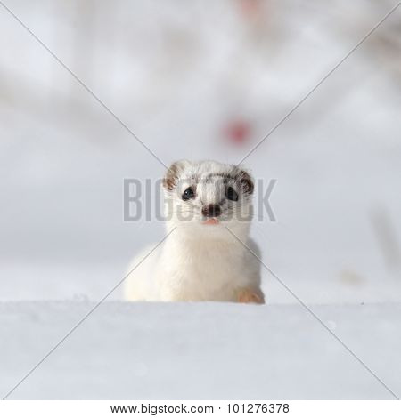 Frontal Portrait Of Least Weasel In Snow