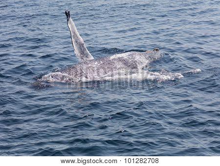 Whale, Cape Cod