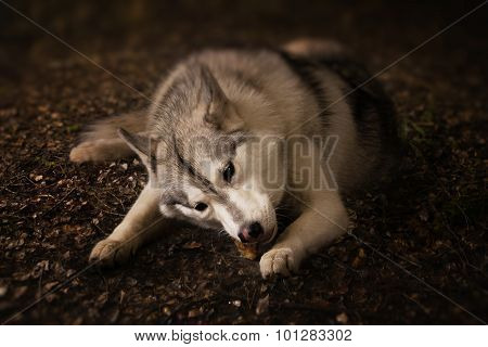 Grey Wolf In Forest
