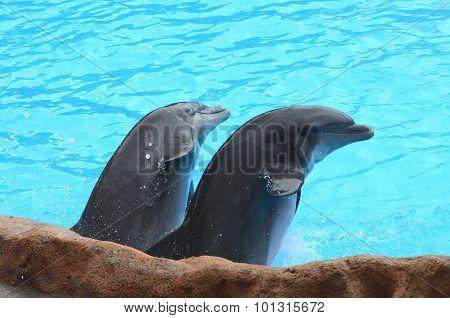 Smiling dolphins in Loro Park in Puerto de la Cruz on Tenerife, Canary Islands, Spain