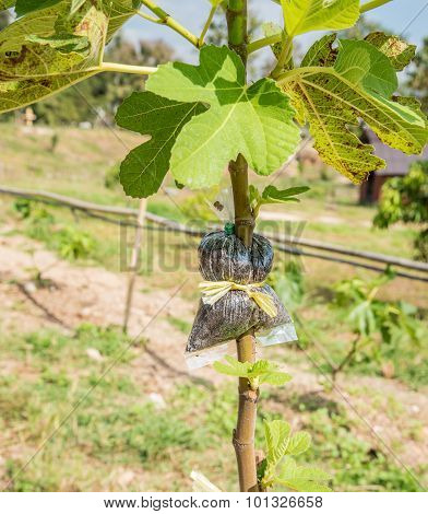 India Figs Grafting