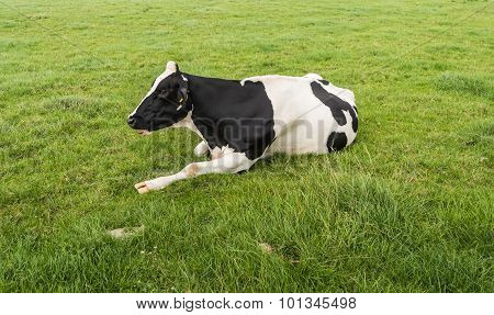 Black Spotted Ruminating Cow Lying Peacefully In The Grass