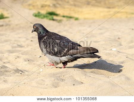A hungry pigeon walking on sandy beach poster
