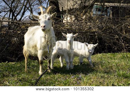 Goat Familly In The Garden
