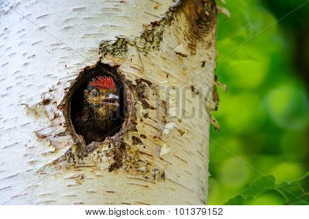 Young Great Spotted Woodpecker Looking Out From Hole