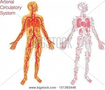 Illustration of circulatory system
