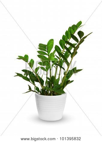 Young Zamioculcas A Potted Plant Isolated Over White