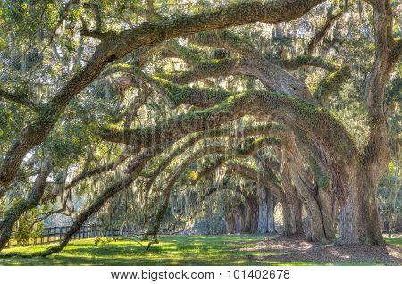 Live Angle Oak Tree