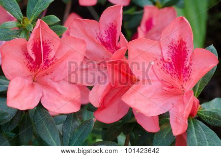 Azalea (rhododendron Simsii Planch)