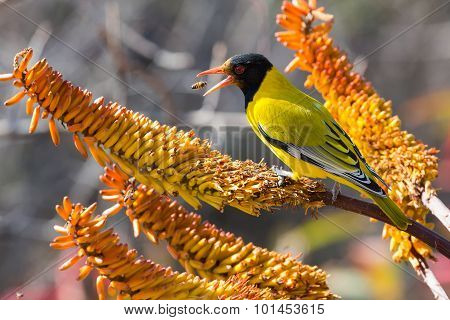 Black-headed Oriole Sitting On Yellow Aloe Catch Bees.